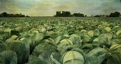 the overwhelming (Adrinne -for a better and peaceful world-) Tags: field cabbage kool noordholland schoorl panasonictz5 readytoharvest addyvanrooij adrinne greenbeautyforlife lenabemanna