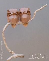 LUOwls (-sebl-) Tags: bear paper origami lyon hide owl luo sebl