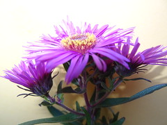 Oct2013 508 Aster (monica_meeneghan) Tags: flowers asters flowersorinsectsmacro naturescarousel frogpondflorals autumn13