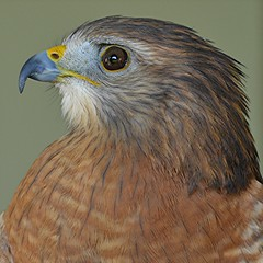 Kestrel... regal falcon with delicate brown and gray feathers (jungle mama) Tags: bird kestral fairchildgarden fairchildtropicalbotanicgarden supershot avianexcellence slicesoftime mygearandme sunrays5