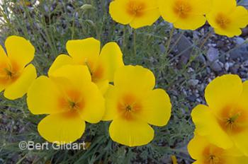 Mexican poppy, now in profusion