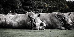 Lazy Sunday Afternoons (Bambi_72) Tags: england zoo europe wildlife local dunstable whipsnadezoo northerneurope mamals unitedkingdomofgreatbritainandnorthernireland ceratotheriumsimumsimum rhinocerossouthernwhite