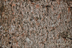 Tamarack Bark (Larix laricina) (2013.01.09) 03 (Andre Reno Sanborn) Tags: vermont unitedstates barton larixlaricina tamaracktree
