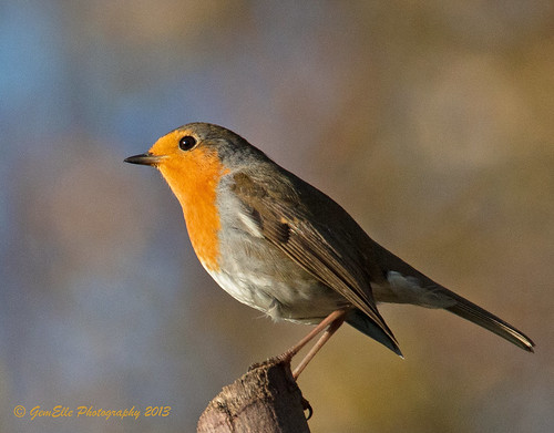 Robin in Winter Light