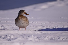 Female Out of her Suitor's Shadow (flores.david84) Tags: park winter snow bird wisconsin club duck nikon yacht lakemichigan milwaukee bayview mallard southshore
