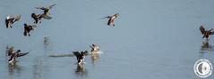 Atterraggio (marco.angelini83) Tags: nature birds animals natura uccelli palude animali anatra anatre bentivoglio larizza
