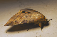 Moth (r.brownlow) Tags: macro moth malaysia kelantan bachok