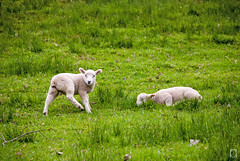 One Tree Hill, NZ - Lambs (raywahc) Tags: sleeping newzealand white cute wool grass animal sheep farm pair hill fluffy cheeky auckland lamb resting offspring onetreehill natute