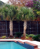 "Sabal Palm Tree • <a style=""font-size:0.8em;"" href=""http://www.flickr.com/photos/101656099@N05/12212849624/"" target=""_blank"">View on Flickr</a>"