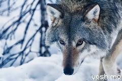 Yoshimo - Wolf 1 (Yoshimo.be) Tags: world travel mountain nature animal animals norway canon wolf wildlife yoshi tromso yoshimo yoshimortelmans {vision}:{outdoor}=095 {vision}:{clouds}=0666 {vision}:{mountain}=068 {vision}:{sky}=084 {vision}:{snow}=0546