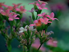 The smell of Spring (bbic) Tags: pink flowers garden
