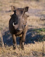 Warthog (Bob Stronck) Tags: fauna botswana warthog chobenationalpark megafauna phacochoerusafricanus ©rmstronck stronckphotocom