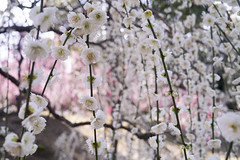 (K.masao) Tags: flower nature japan plum masaokatayama