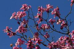 Magnolia:Pink on Blue. (Peter J. Ham.) Tags: flowers colour nature wales canon telephoto bodnant masterphotos