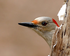 Red-bellied Woodpecker 60 (Melanerpes carolinus) (egdc211) Tags: red bird aves redbelliedwoodpecker melanerpescarolinus birdwatcher backyardbirding