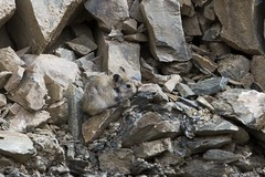 Large-eared Pika (Baractus) Tags: park india john national valley kashmir ladakh jammu oates pika hemis largeeared tarbung