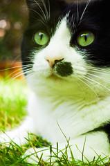 Malou (Gwnalle MORTIER) Tags: portrait bw cat spring chat noiretblanc nb gato blacknwhite printemps rennes malou felin wenae