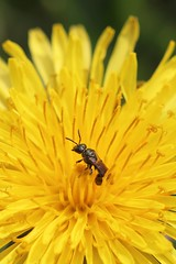 Sweat bee in a dandelion. Olympia, WA (Megan Asche) Tags: plant flower color macro nature animal yellow work canon bug hair insect photography eyes colorful wasp natural legs megan science dandelion petal bee busy tiny stamen worker pollen antenna arthropoda scientist entomology entomologist arthropod beekeeper olympiawa hymenoptera insecta pollenate pollenator asche hexapoda meganasche