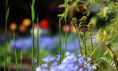 HAPPY ! ... my personal version (AnyMotion) Tags: flowers plants fern primavera nature floral colors spring weed colours bokeh frankfurt natur pflanzen happiness blumen bamboo tulip abundance printemps farn schilf farben frhling tulpe bambus 2014 anymotion berfluss hyacinthoideshispanica glcksgefhl spanishbluebell canoneos5dmarkii 5d2 spanischeshasenglckchen