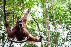 Ratna 4814 (Ursula in Aus) Tags: animal sumatra indonesia unesco orangutan ape greatape bukitlawang gunungleusernationalpark earthasia