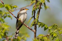 _53F2448 Yellow-billed Cuckoo (~ Michaela Sagatova ~) Tags: dundas yellowbilledcuckoo coccyzusamericanus birdphotography dvca michaelasagatova spring2014