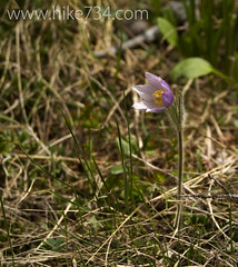 "Pasque Flower • <a style=""font-size:0.8em;"" href=""http://www.flickr.com/photos/63501323@N07/14127606710/"" target=""_blank"">View on Flickr</a>"