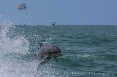 Dolphins off of Sanibel Island (tropicdiver) Tags: gulfofmexico florida dolphins sanibel captiva sanibelthriller