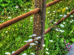 More rust (tubblesnap) Tags: fence high rust dynamic buttercup rusty daisy railing clover wildflower range tone hdr mapped flowe tonemapping xs1