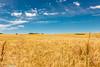 Goldene Felder/ Fields of Gold (Stephan Güthlein Fotografie) Tags: summer germany deutschland sommer natur felder fields schorfheide markbrandenburg altkünkendorf naturbeobachtung