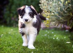 Flickr meet Brodie... (30/50) (Stuart Stevenson) Tags: uk dog cute grass daisies garden puppy photography scotland blackwhite pup cuteness mischief beardie beardedcollie shallowdepthoffield clydevalley bundleoffluff stuartstevenson