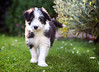 Flickr meet Brodie... (30/50) (Stuart Stevenson) Tags: uk dog cute grass daisies garden puppy photography scotland blackwhite pup cuteness mischief beardie beardedcollie shallowdepthoffield clydevalley bundleoffluff stuartstevenson