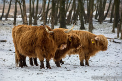 20170211-IMG_2652 (SGEOS@EARTH) Tags: schotse hooglander highland cattle scottish oerossen wildlife nature outdoor observer canon konikpaarden wilde paarden konik polish
