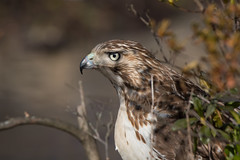 """""""Guilty as Sin"""" (Red-Tailed Hawk) (Jesse_in_CT) Tags: redtailedhawk nikon200500mm"""