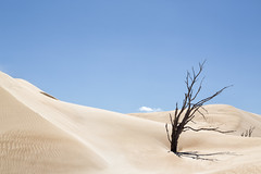 Not surviving #2 (RWYoung Images) Tags: rwyoung canon 5d3 southaustralia tree deadtree landscape sand dune