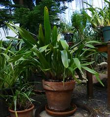 Cymbidium Cricket 'Pala Pala' primary hybrid orchid, freshly repotted  2-17* (nolehace) Tags: cultivar cymbidium cricket pala primary hybrid orchid 217 palapala nolehace fz1000 sanfrancisco