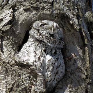 Petit-duc maculé / Eastern screech-owl / Otus asio / IMG_1866_lzn1x1w