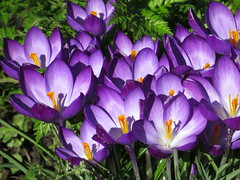 spring is in the air (gerben more) Tags: crocus spring springflowers colours colors colour flowers flower flora nature netherlands nederland