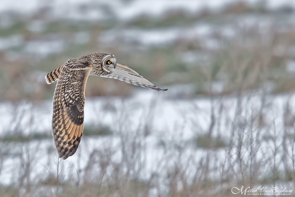 Short-Eared Owl Over Snow