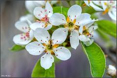 Flor de peral con visitante (Jose Manuel Cano) Tags: flor flower peral hormiga pear ant nikond5100 color colour