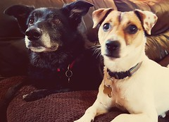 Furbabies (Alloa2013) Tags: collie bordercollie cutepet pets furbabies dogs family samsungs7 jackrussell terrier ears