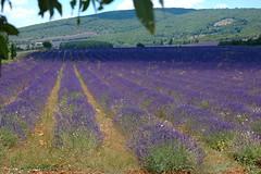 ... fiori di lavanda (antosti) Tags: francia provenza valensole coltivazione lavanda colline verde viola bruno nikon d70s