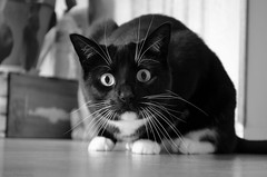 OH the HORROR!!! (Captions by Nica... (Fieger Photography)) Tags: monochrome blackandwhite black white cat catmoments catportrait catseyes eyes pet portrait animal feline indoor quebec canada