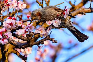 Brown-eared Bulbul on Plum Blossom : 梅にヒヨドリ