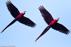 Scarlet macaw (Manuel ROMARIS) Tags: nationalpark corcovado costarica scarletmacaw drakebay corcovadonationalpark bahíadrake puntarenasprovince cr flight