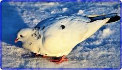 Pigeon in winter (Ioan BACIVAROV Photography) Tags: bird birds winter hiver iarna pasare zapada snow bacivarov ioanbacivarov bacivarovphotostream interesting beautiful wonderful wonderfulphoto nikon