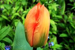 NEL GIARDINO INCANTATO (Maria Grazia Marrulli) Tags: natura primavera tulipano fiore vegetazione verde green vert arancione orange ombra luce parigi francia viaggio travel sonyilce7r illibrodellestagioni