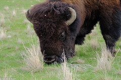 bison feeding closeup (brian eagar - very busy - not much time to comment) Tags: bison buffalo animal mammal wildlife nature wild outdoor outside antelopeisland