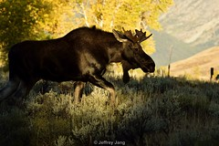 Bull Moose. Grand Teton National Park. WY. U.S.A. (Jeffrey Jang Photography) Tags: bullmoose alcesalces grandtetonnationalpark wyoming unitedstatesofamerica us animal mammal nature naturephotography nikon wildlife wildlifephotography jeff jeffrey jang jeffreyjangphotography m188862016
