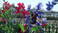 Carlsbad Flower Field - Sweetpeas (Tostie14) Tags: flowers carlsbadflowerfields sweetpea
