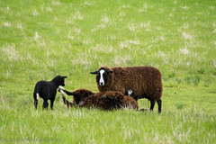 zwartbles playing! (RCB4J) Tags: scotland farming lamb ayrshire galston irvinevalley naturethroughthelens zwartblessheep sonyafdt18250mmf3563 sonyslta77 ronniebarron rcb4j
